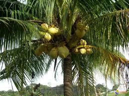 Coconut water Cocotier