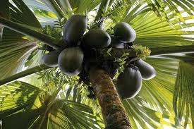 L'Eau de Coco (D'lo coco) cocotier-2